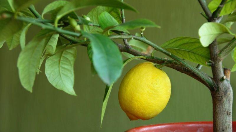 Цветы для Стрельцов - лимон