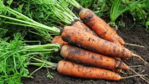 Фото Семена моркови для вашего участка